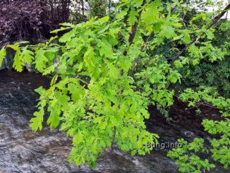 Ast einer Eiche mit maigrünen Blättern