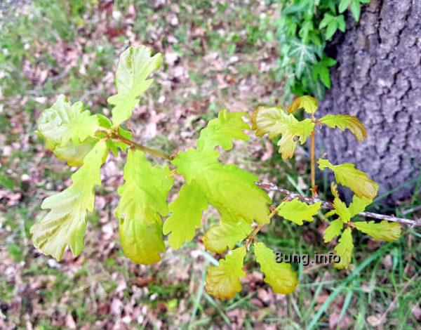 Eichenzweig mit Blättern