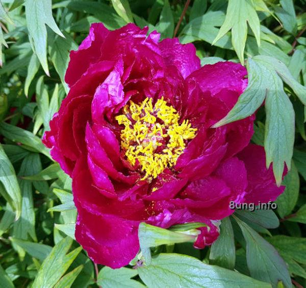 Mein Garten: Blühende rote Pfingstrose im Mai - purpurrot mit gelben Stempeln