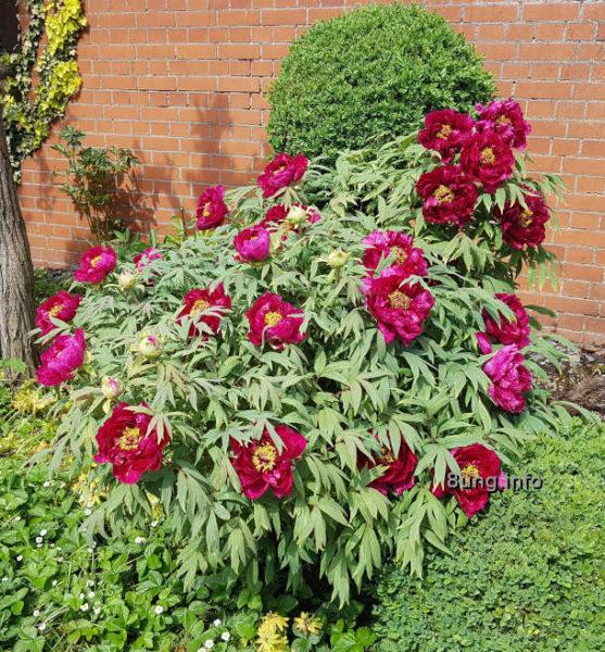 Mein Garten: blühenden rote Pfingstrosen im Mai - Blütenstrauch