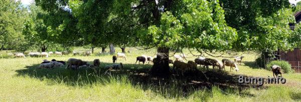 Schafe unter einem Baum im Schattten