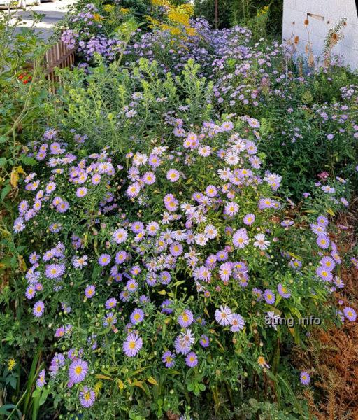 Blühende lila Strahlenastern im vorgarten