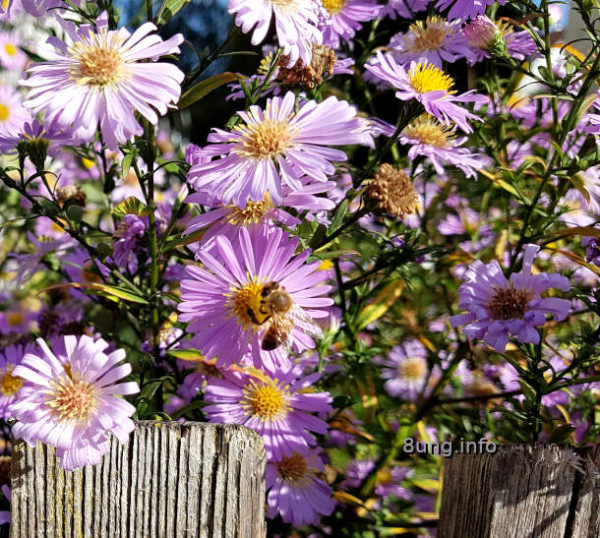 Gartentagebuch im Herbst: Biene in einem Meer von lila Strahlenastern