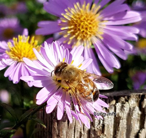 Gartentagebuch im Herbst: Biene erntet Pollen