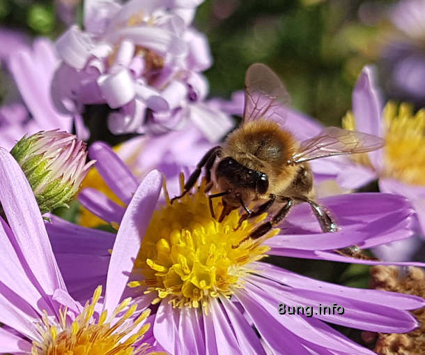 Biene auf einer lila Strahlenaster