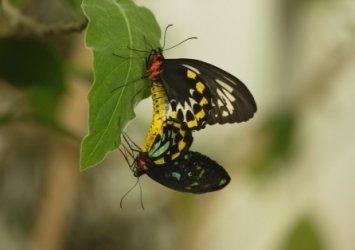 Paarende Schmetterlinge. Bild aus dem Naturfilm: Sex, Lies and Butterflies – Wunderwesen Schmetterling