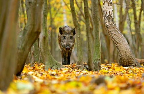 DasNaturvision Filmfestival: Comeback der Wildschweine