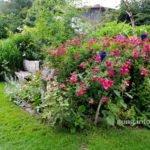 Rosen in der Blumenrabatte