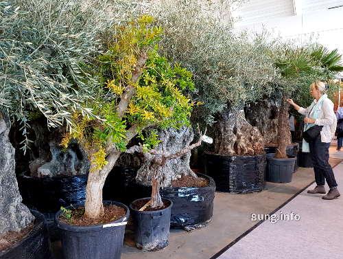 Wie alt werden Olivenbäume?