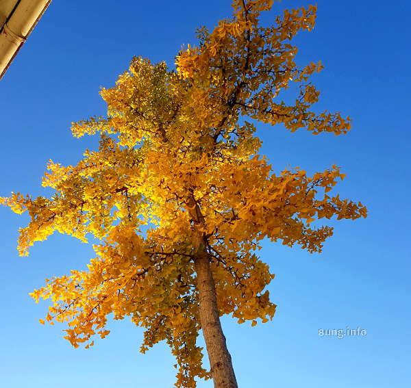 goldener Oktober? Gingkobaum mit gelben Blättern vor blauem Himmel