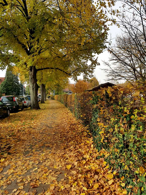 goldener Oktober? gelbes Herbstlaub