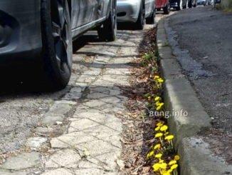 huflattichblüten am Straßenrand