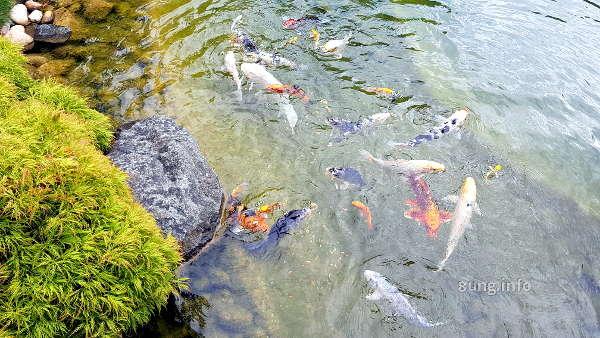 kois im Japangarten in Bad Langensalza