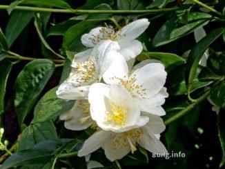 weisse Jasminblüten