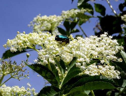 Grüner Käfer auf einer weissen Holunderblüte