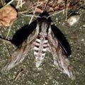 Schmetterling Ligusterschwärmer, ein Nachtfalter