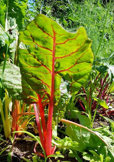 Mangold mit roten Stielen im Garten