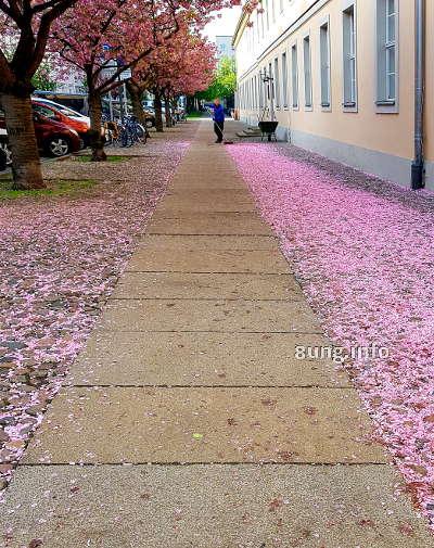 heruntergefallene Kirschblüten am Hotel am großen Waisenhaus