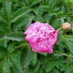 rosa Pfingstrosenblüte nach dem Regen