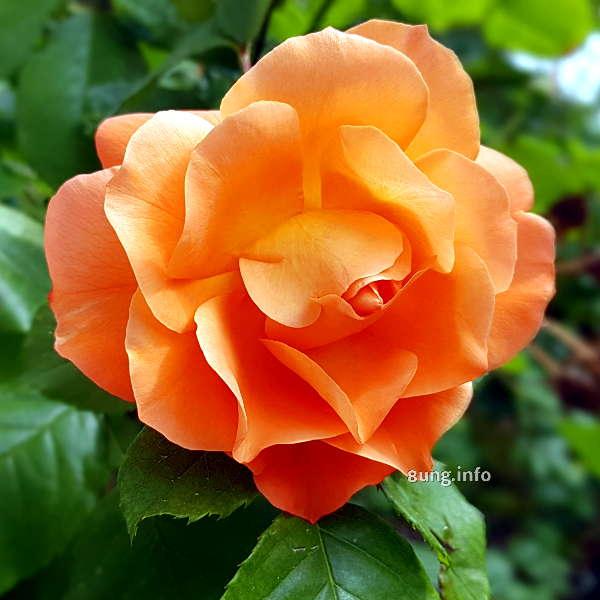 voll aufgeblühte aprikosenfarbene Rose