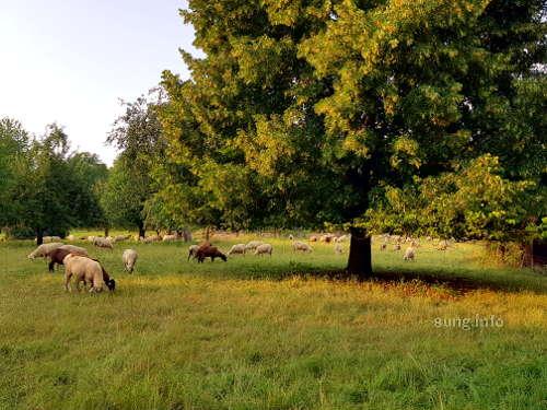Schafherde auf der Weide
