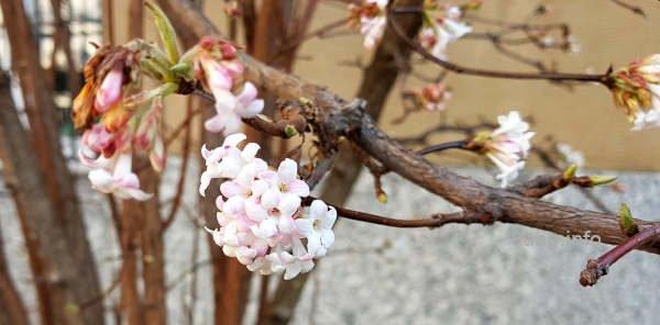 Winterschneeball, Blüte in zartrosa